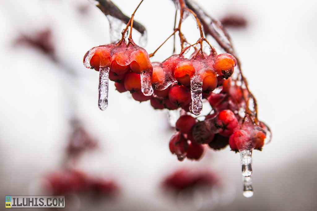Рябина во льду